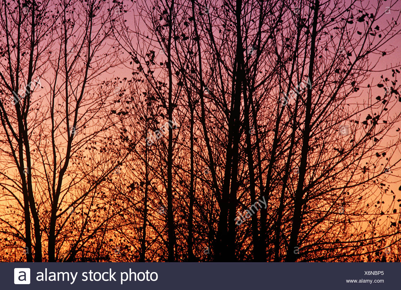 Silouetted trees - Stock Image