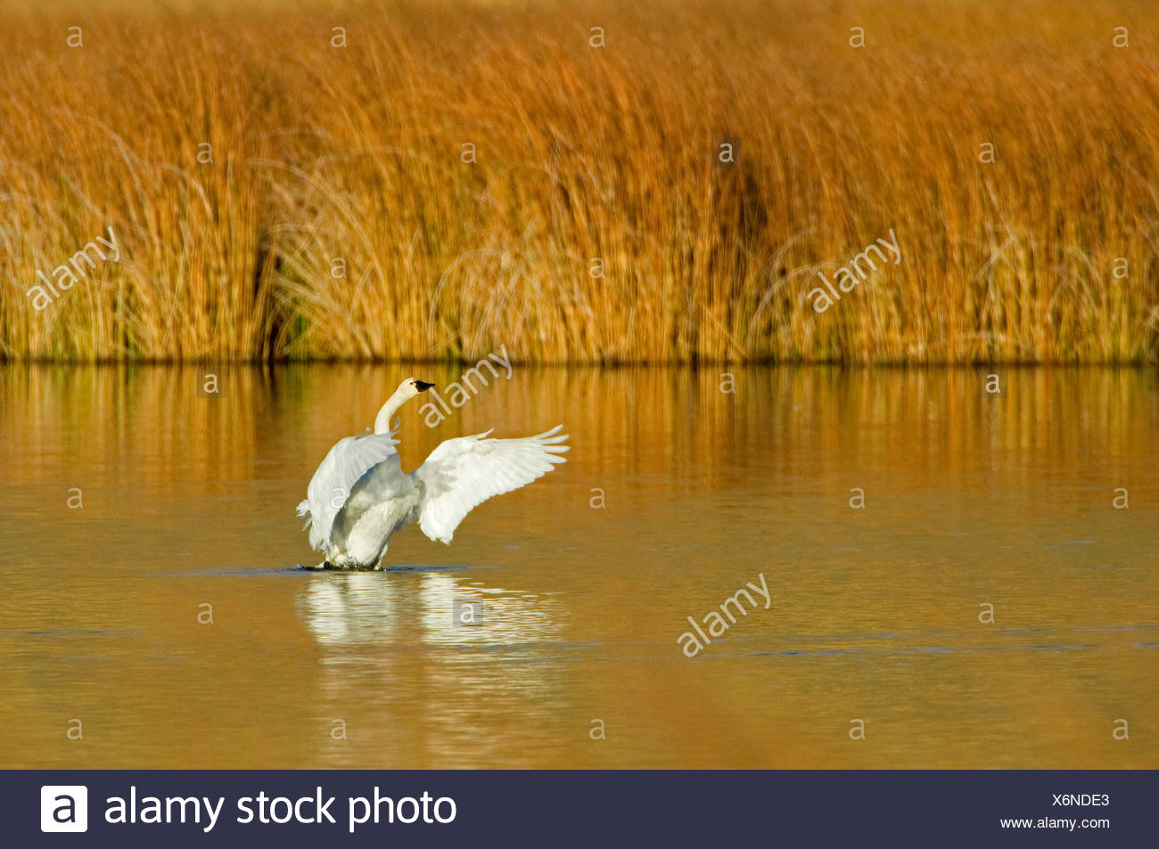 A Trumpeter swan (Cygnus buccinator) comes out of water on a beautiful fall day just south of Kamloops British Columbia Canada - Stock Image