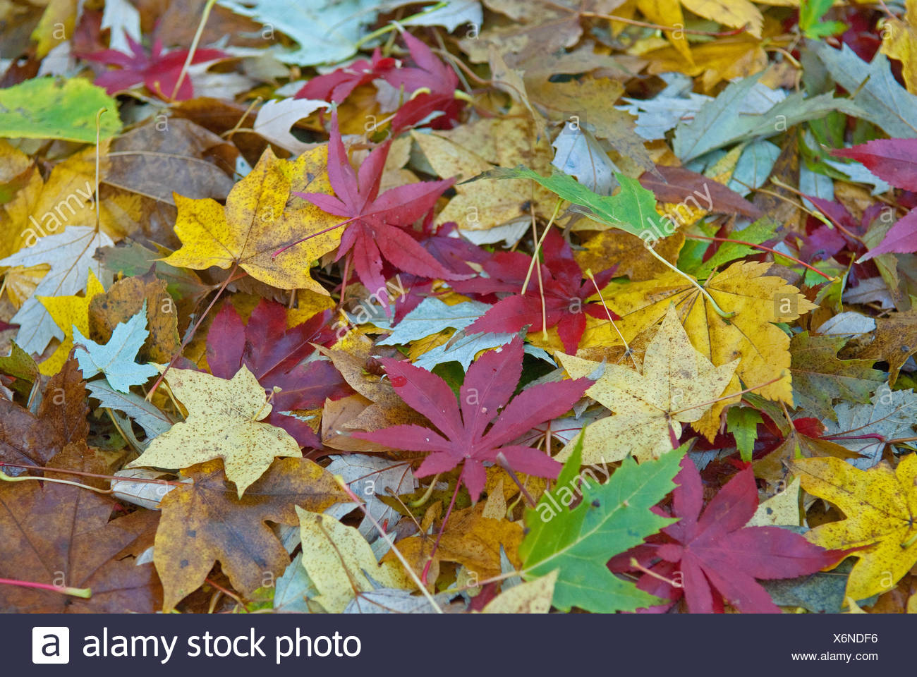 maple leaves of different species on the ground - Stock Image