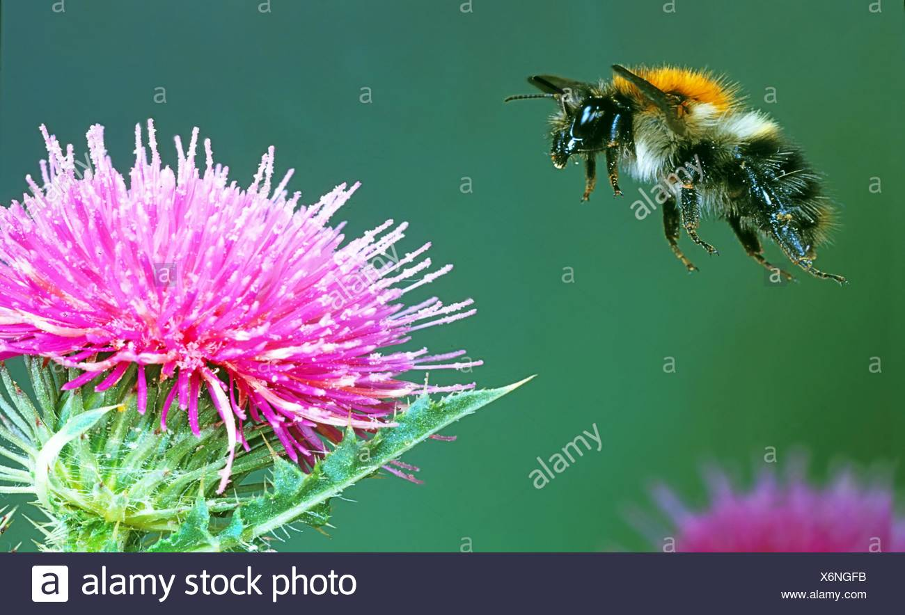 Bumblebee flying to thistle - Stock Image