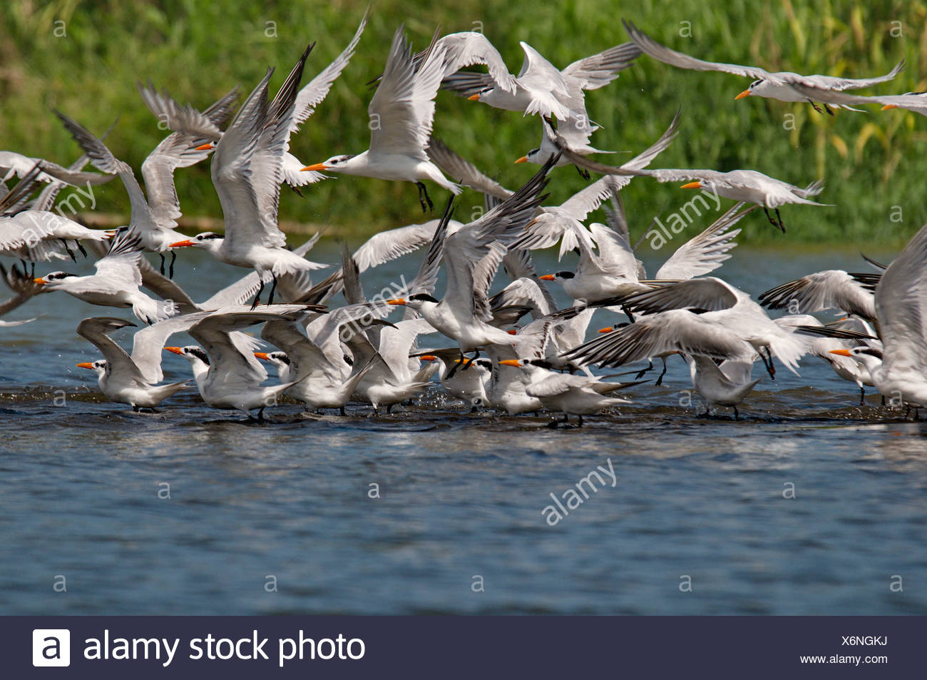 tern, terns, Sternidae, Laridae, bird, birds, animal, animals, fauna, wildlife, wild animal, nature, Costa Rica, tropical - Stock Image