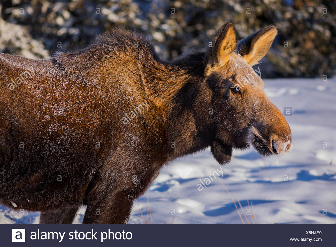 Close-up of a female moose (alces alces)with frost on her fur from foraging in the snow on a -30 F (-34 C) degree morning - Stock Image