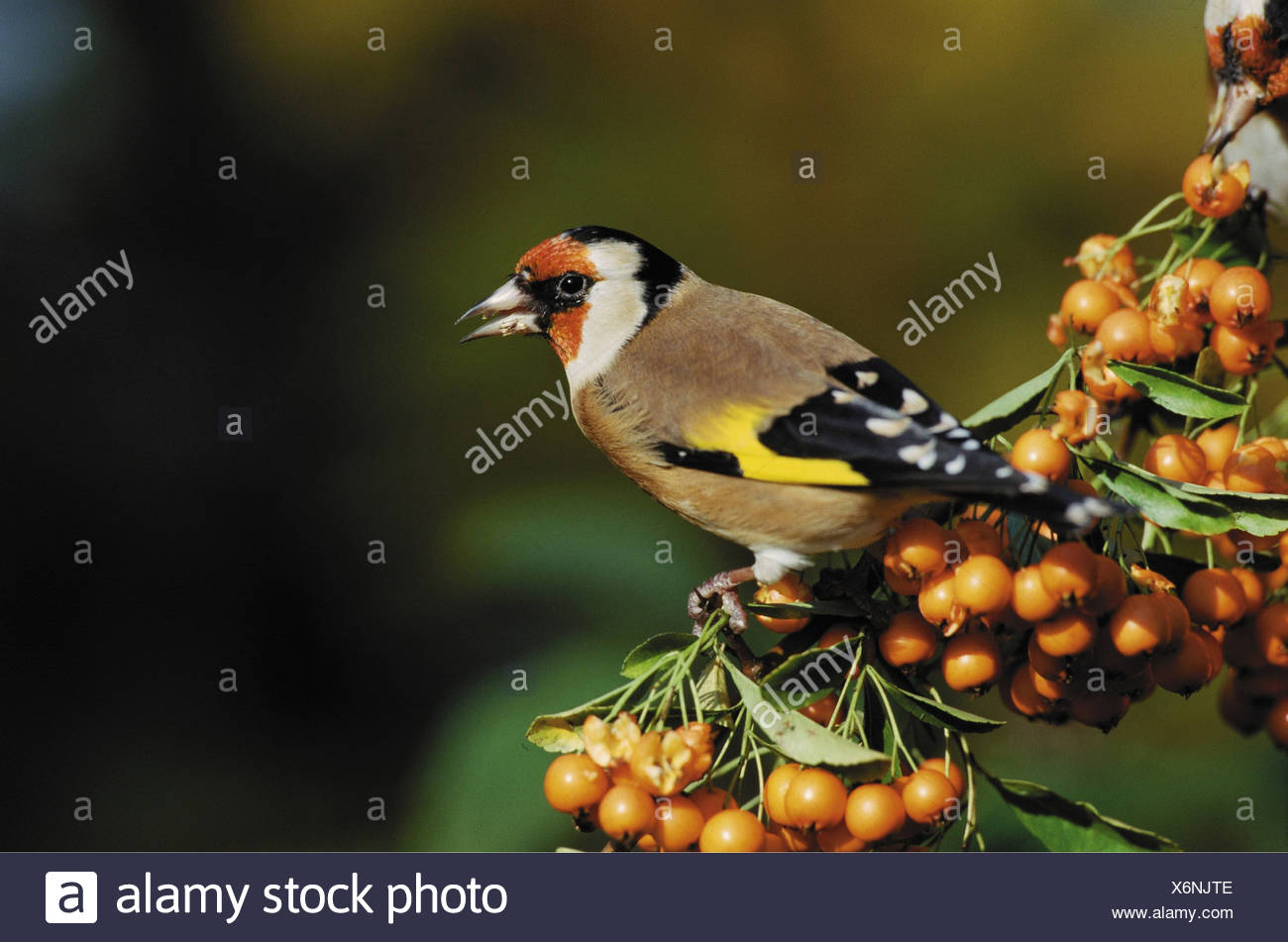 carduelis carduelis / goldfinch - Stock Image