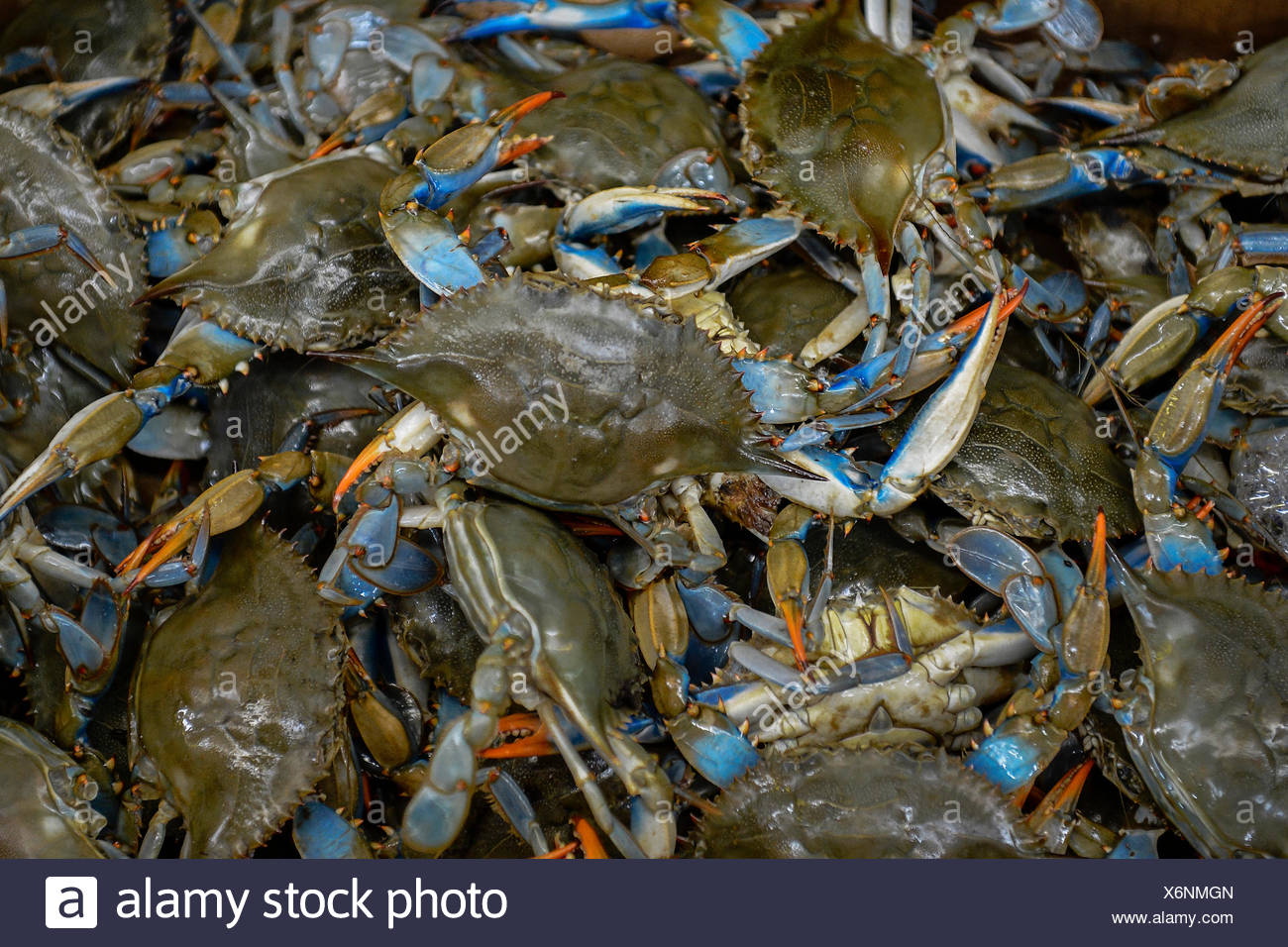 Catch of live Atlantic blue crabs. - Stock Image