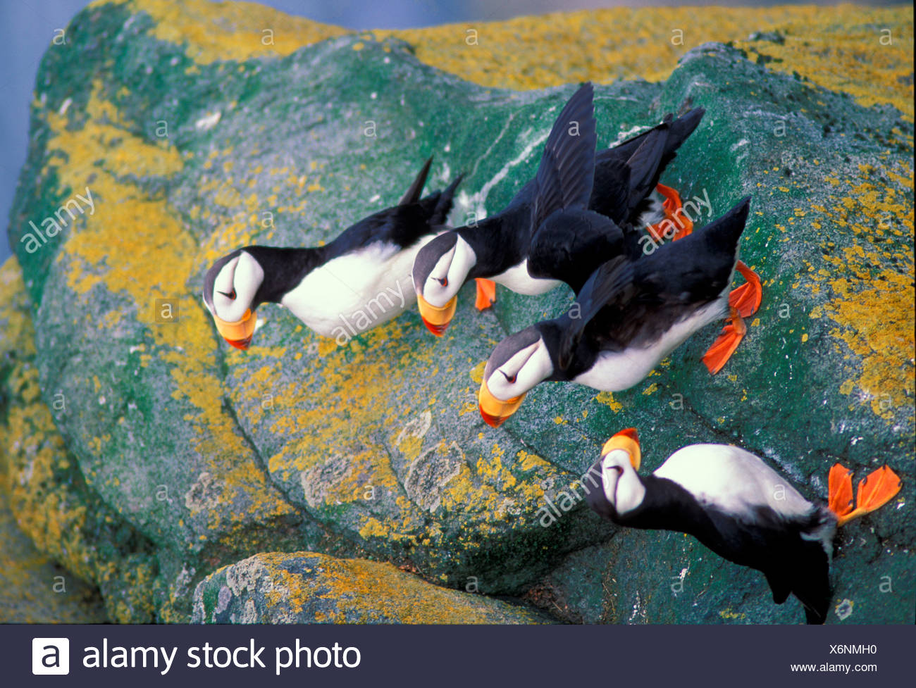 Four Horned Puffins On A Lichen Covered Ledge Alaska Bering Sea Bristol Bay Walrus Islands