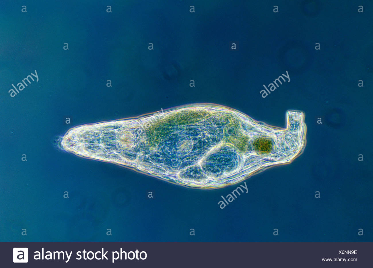 Rotifer (Rotaria rotatoria) a microscopically small animal with a length of 004 to 240 mm, waterborne and can inhabit highly acidic environments - Stock Image