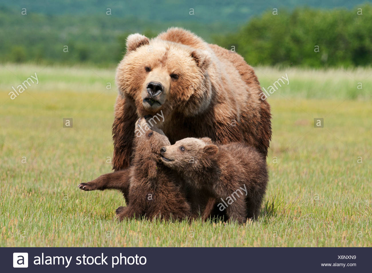 A Grizzly Bear (Ursus Arctos Horribilis) And Her Cubs; Alaska, United States Of America - Stock Image