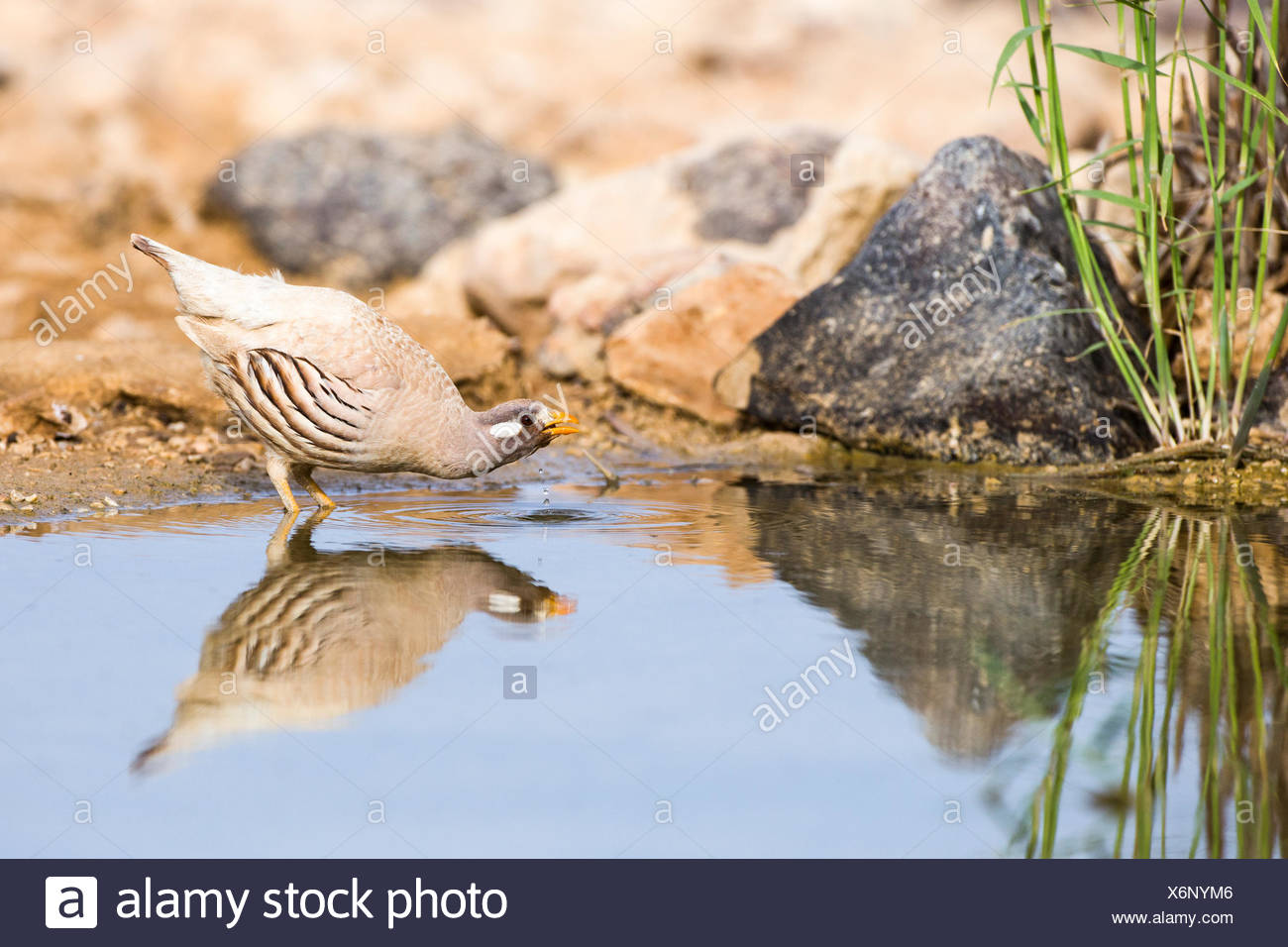 sand partridge (Ammoperdix heyi) is a gamebird in the pheasant family Phasianidae of the order Galliformes, gallinaceous birds. - Stock Image
