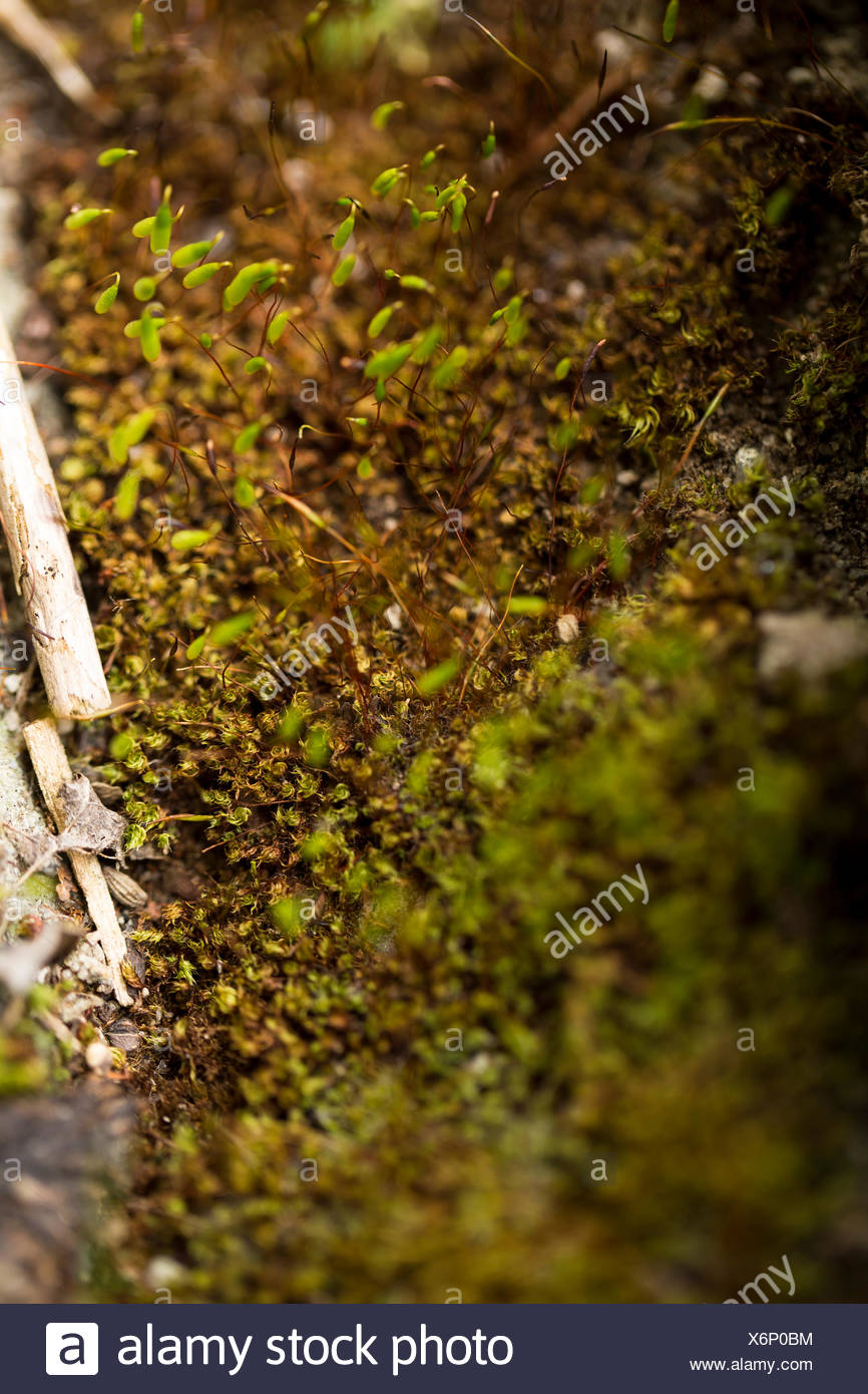 Closeup of moss. Rhoen Mountains, Germany - Stock Image