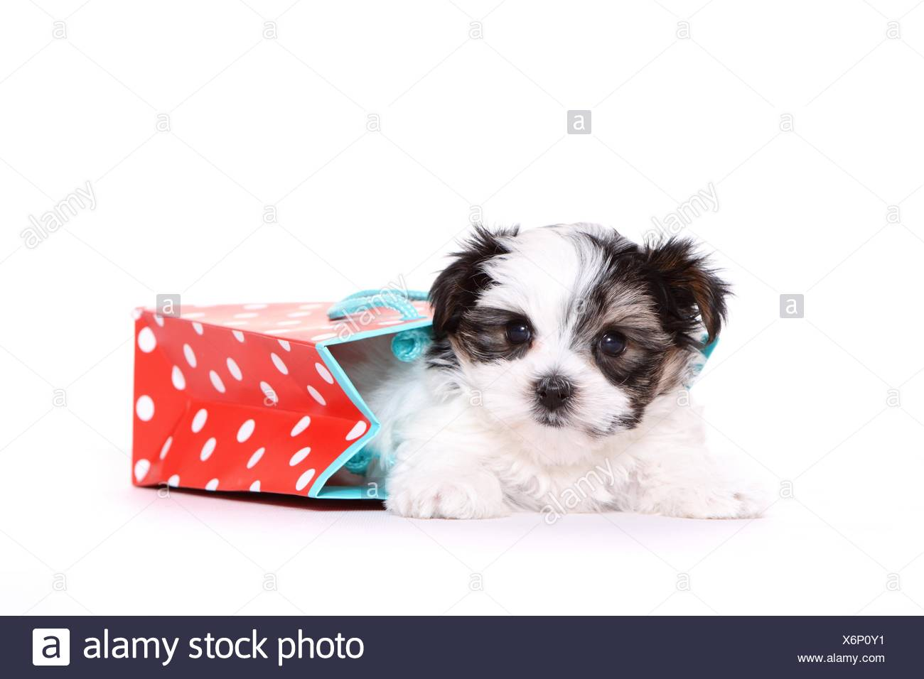 Biewer-Maltese-Mongrel Puppy - Stock Image
