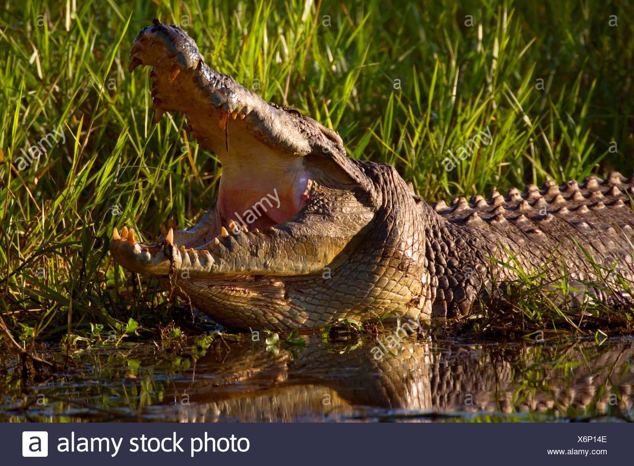 saltwater crocodile, estuarine crocodile (Crocodylus porosus), big Saltwater Crocodile lying at shore of a swamp with open snout showing off its big and dangerous teeth, Australia, Northern Territory - Stock Image