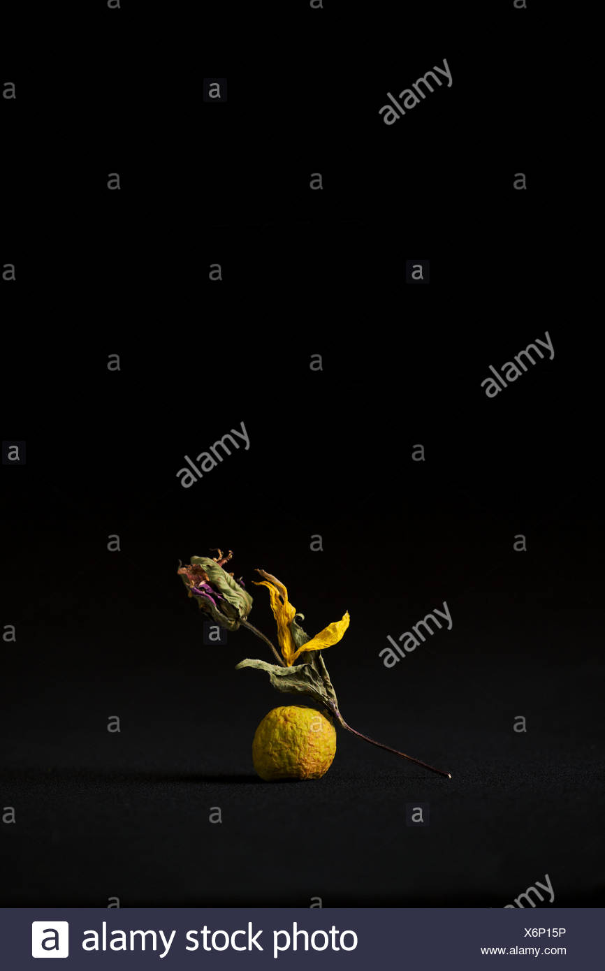 Dried flower on black background - Stock Image