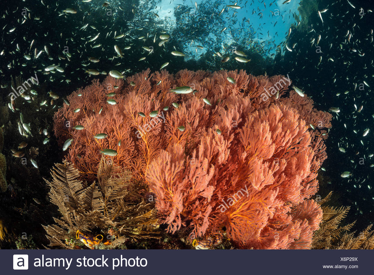 Corals growing near Mangroves, Melithaea sp., Raja Ampat, West Papua, Indonesia - Stock Image