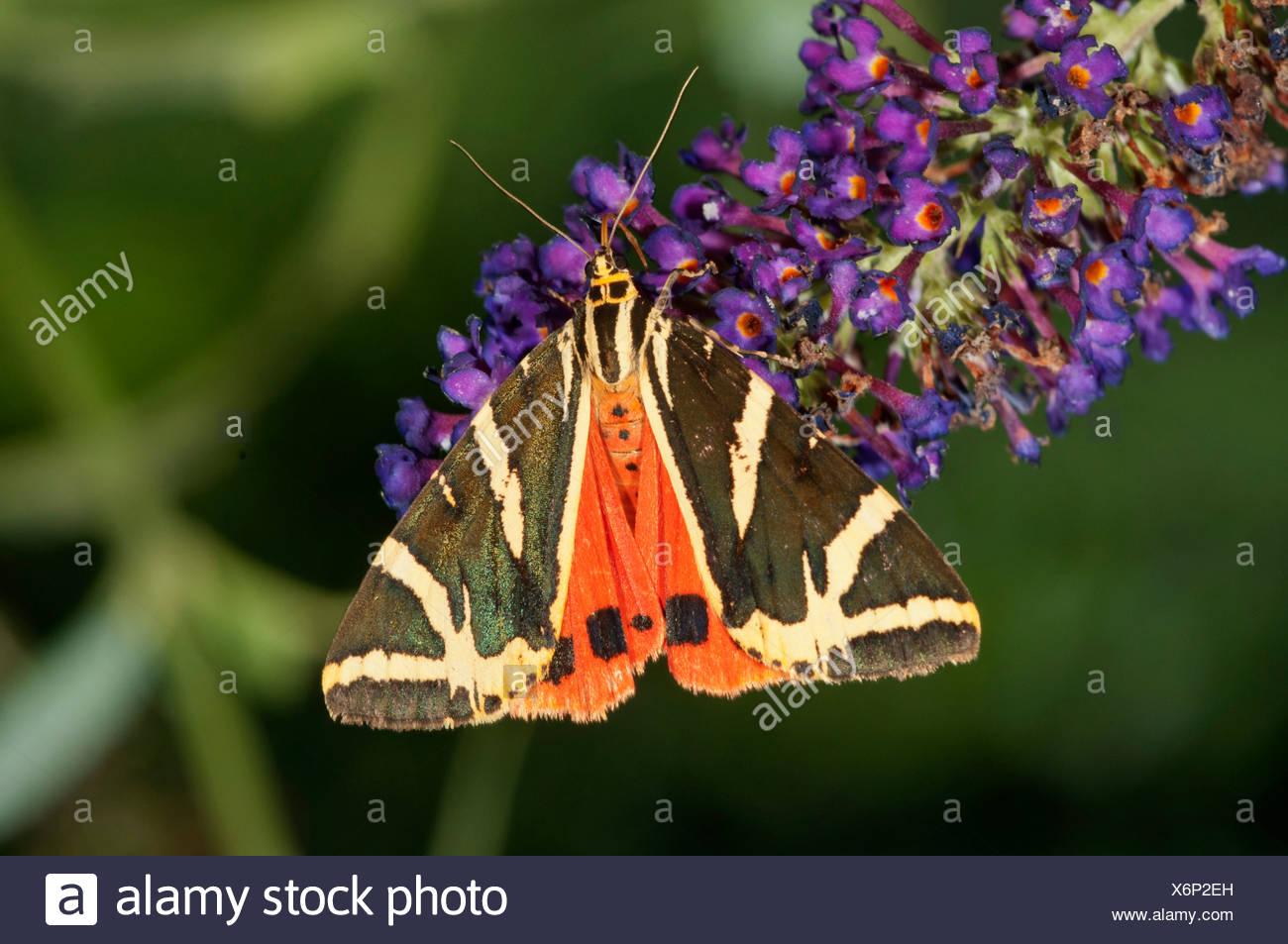 Jersey Tiger (Euplagia quadripunctaria) sucking nectar from Buddleja, butterfly bush - Stock Image