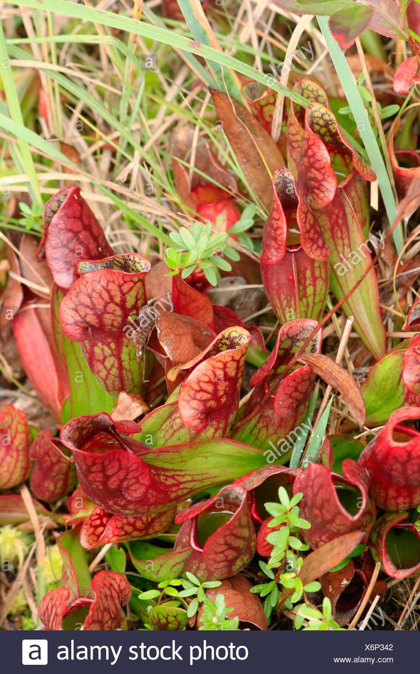 carnivorous pitcherplants in a bog - Stock Image