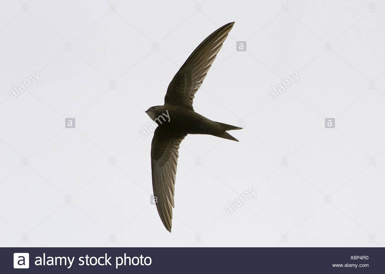 common swift - Stock Image