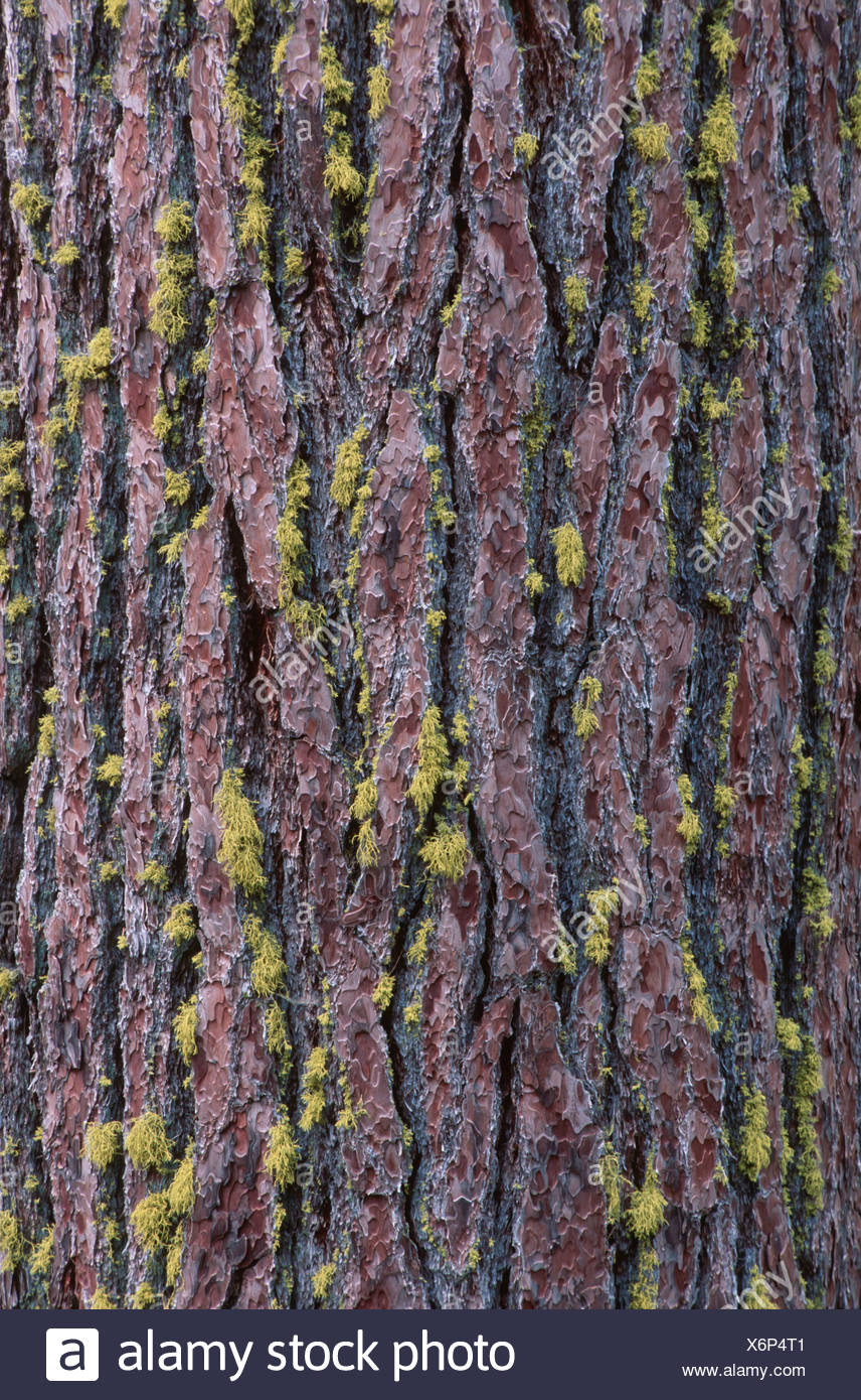 California red fir (Abies magnifica), detail of trunk coverd with yellow lichens, USA, California, Sequoia NP, Sierra Nevada - Stock Image