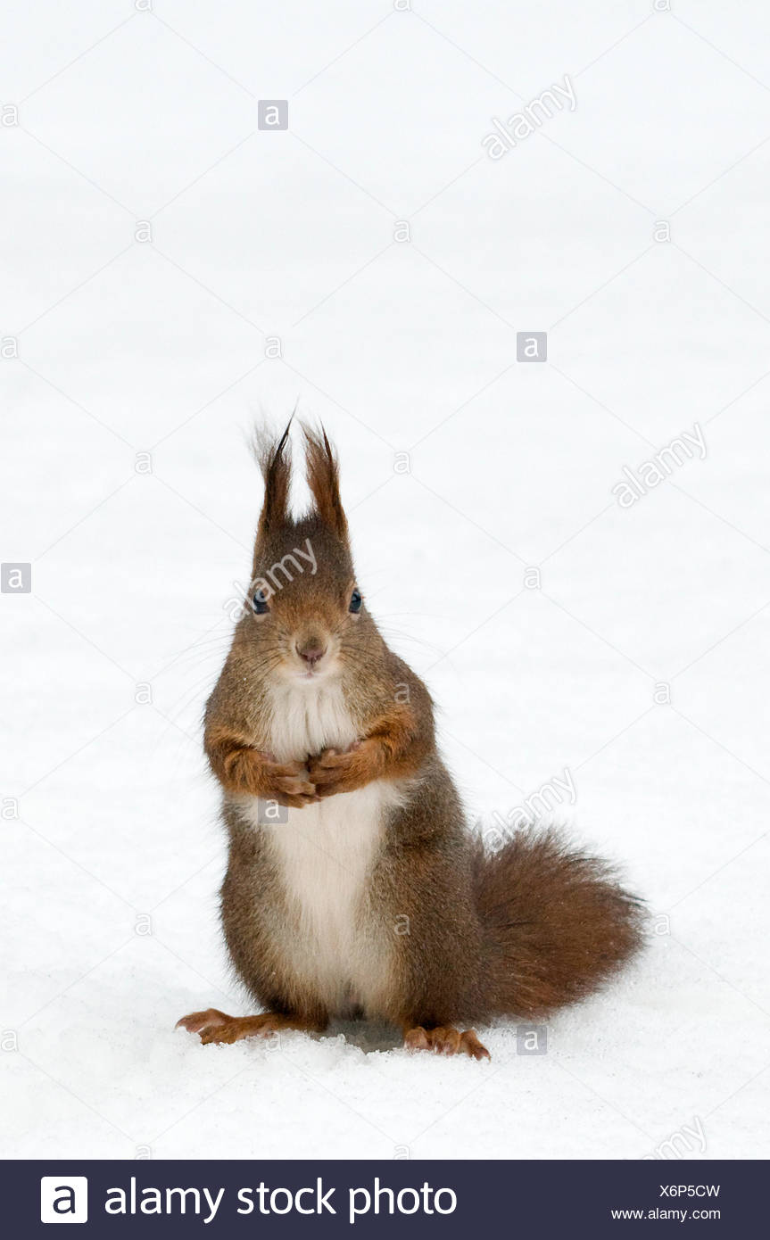 Red squirrel (Sciurus vulgaris) sitting upright in deep snow, Austria, Europe - Stock Image