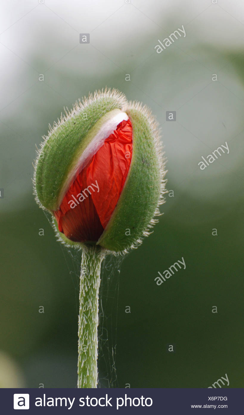 Poppy - Stock Image