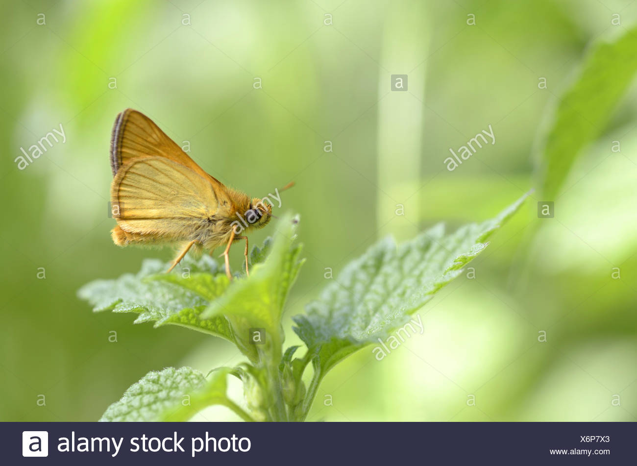 Small Skipper (Thymelicus sylvestris) - Stock Image