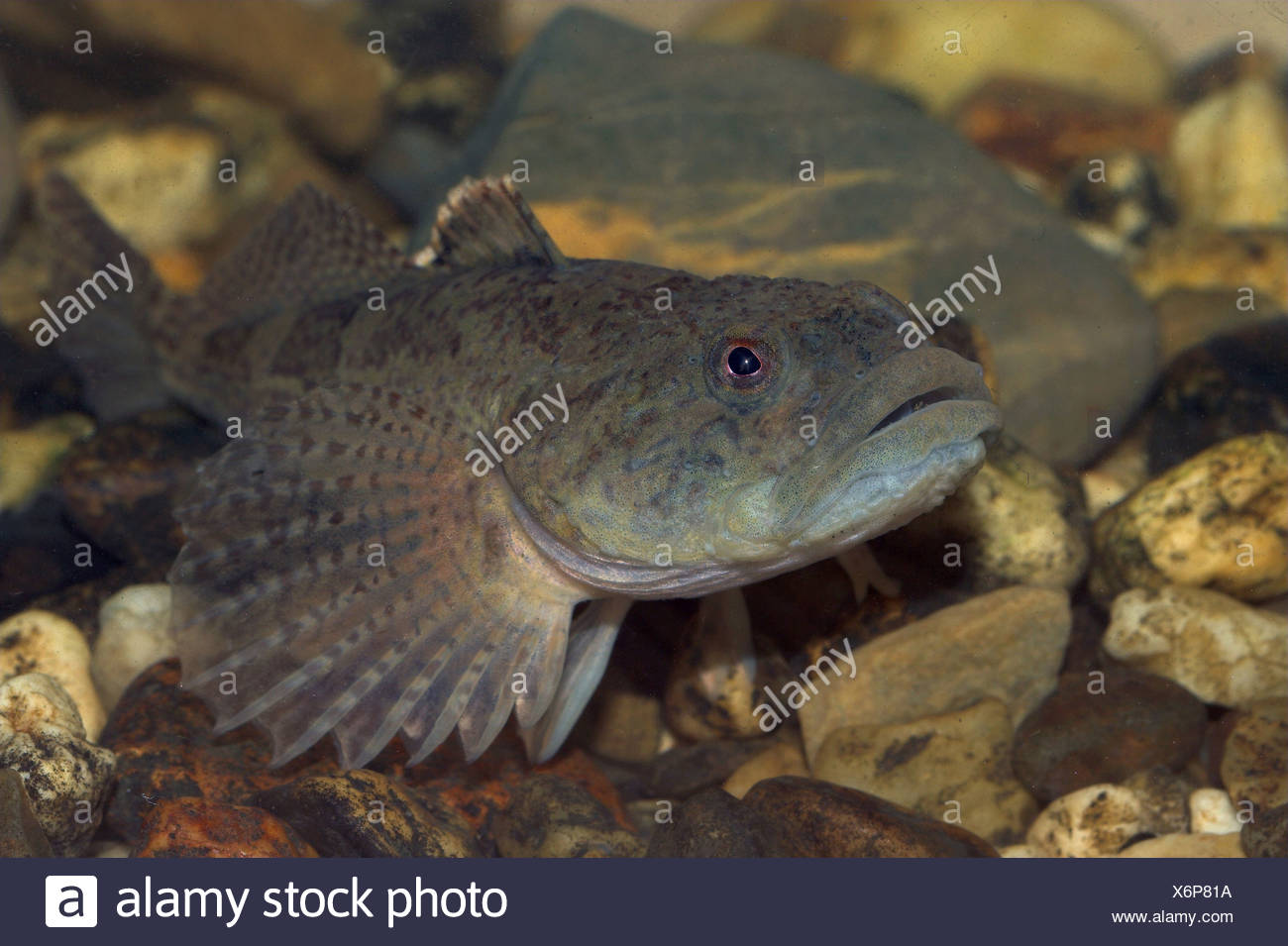 Bullhead, photographed in an aquarium - Stock Image