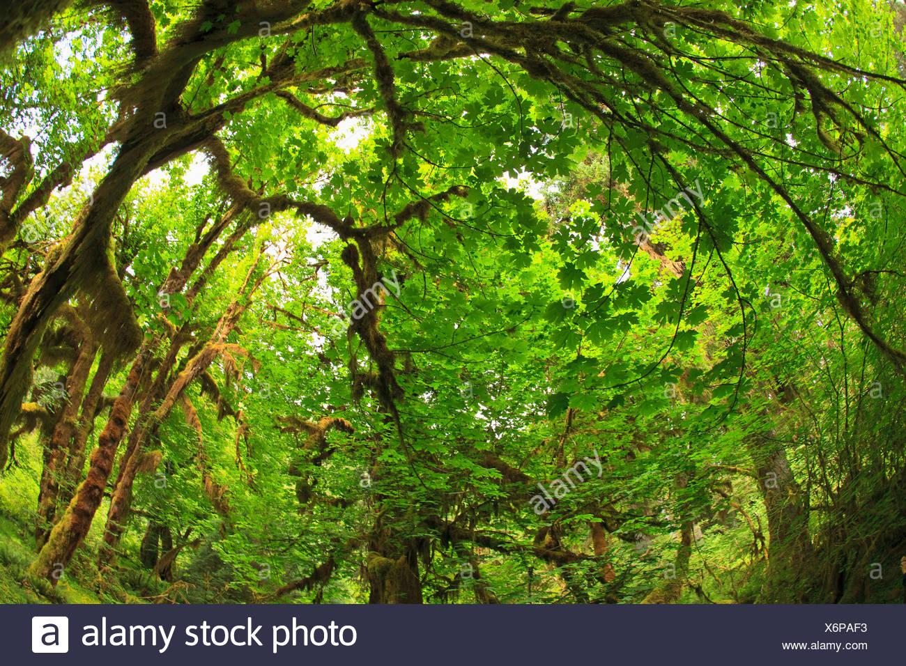 Hoh Rainforest, Olympic National Park, Washington, USA - Stock Image