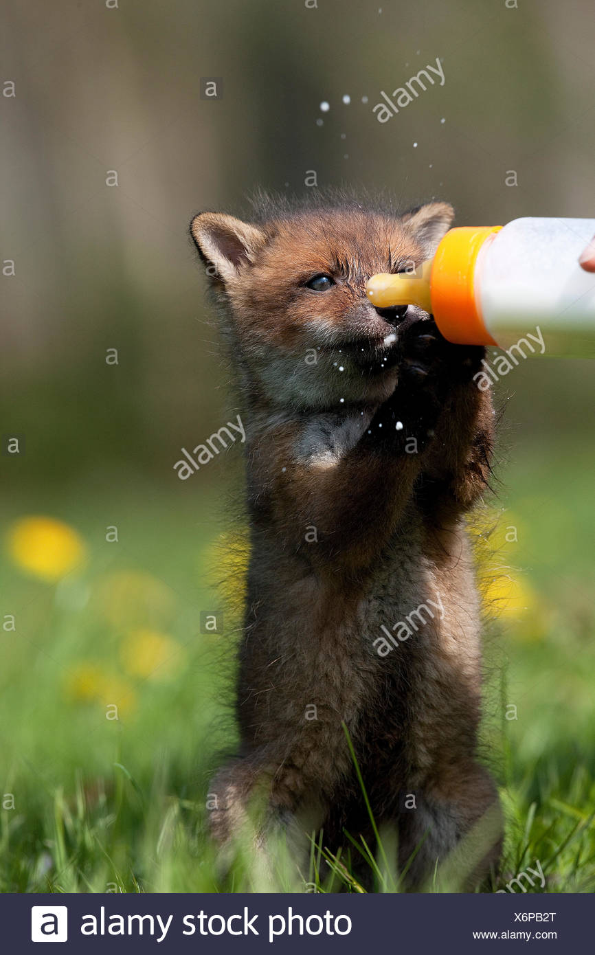 Red Fox, vulpes vulpes, Bottle-fed Cub, at La Dame Blanche, an Animal Protection Center in Normandy - Stock Image