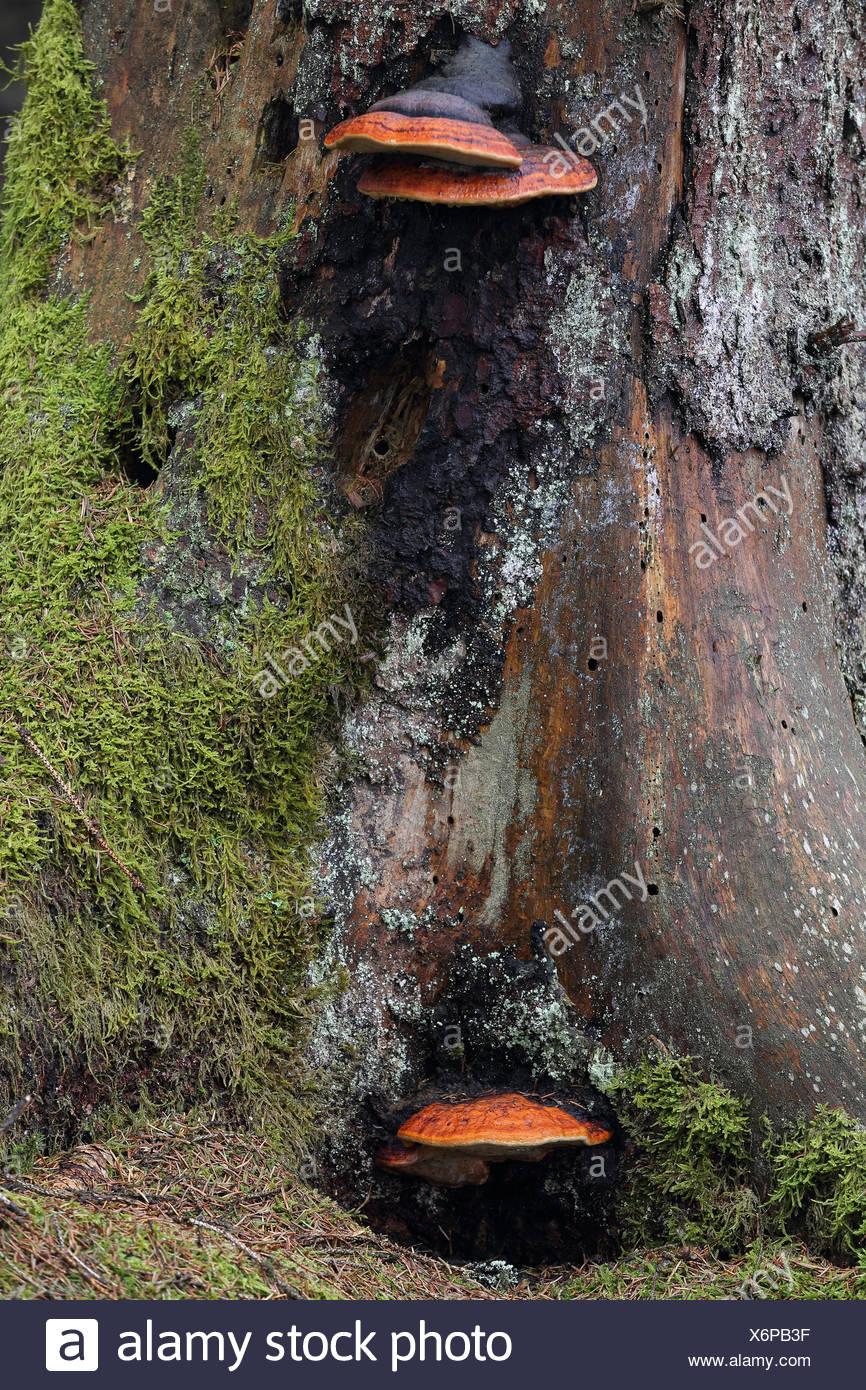 Rotrandiger Baumschwamm, (Fomitopsis pinicola), Bannwald, Pfrunger-Burgweiler Ried, Baden-Wuerttemberg, Deutschland Stock Photo