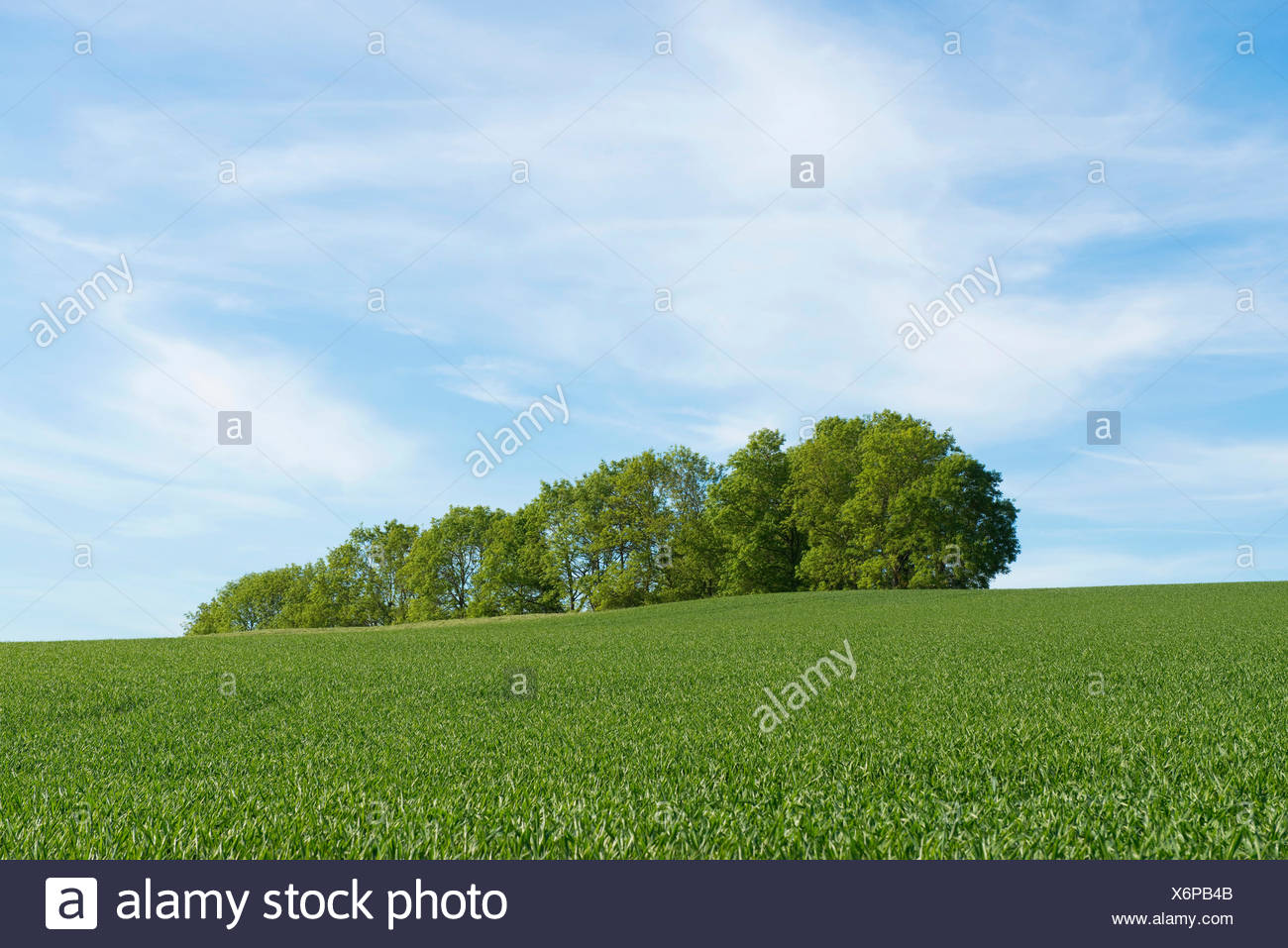 Wheat field and a grove, Thuringia, Germany - Stock Image