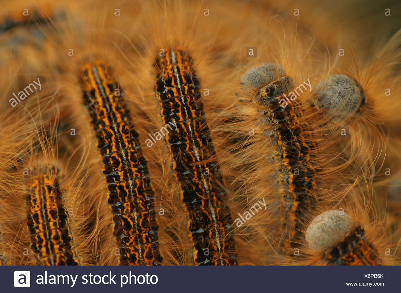 Group of caterpillars of Ground Lackey (Madacosoma Castrensis) - Stock Image