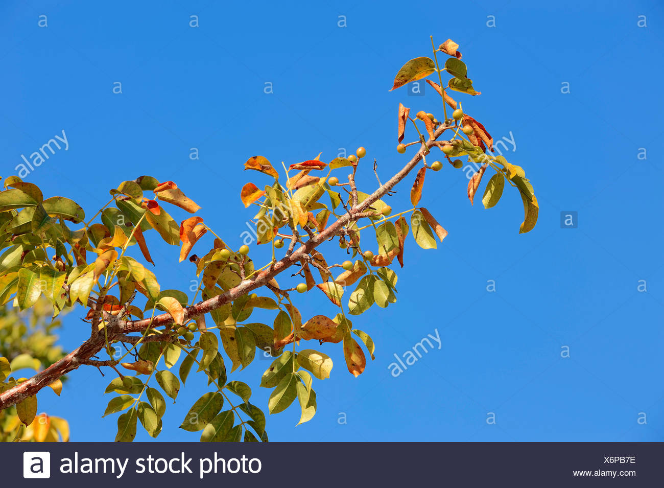 Gumbo-limbo, Copperwood or Chaca (Bursera simaruba), branch with fruit, Sanibel Island, Florida, United States - Stock Image