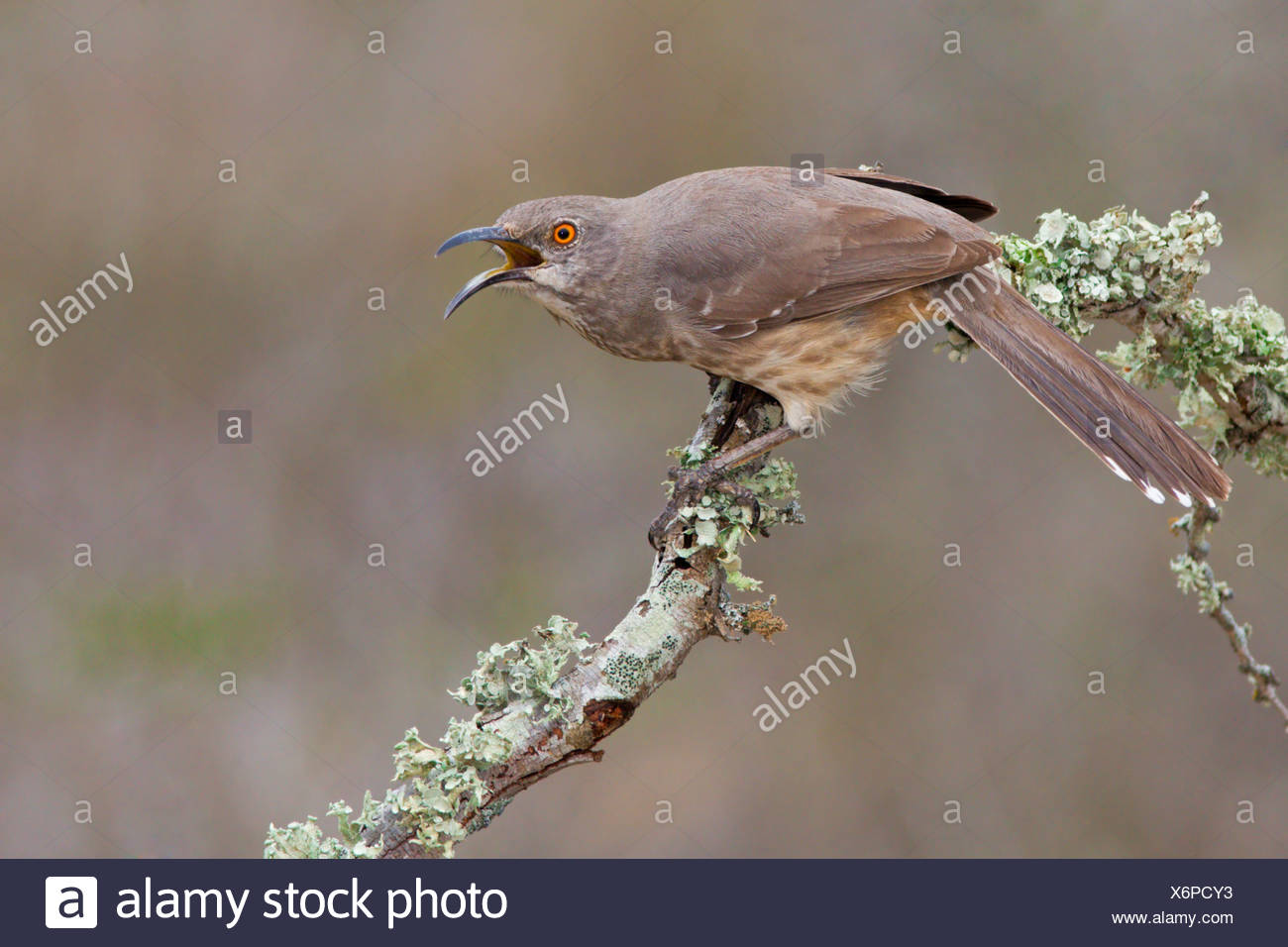 Curve-billed thrasher (Toxostoma curvirostre) perched on a branch at Falcon State Park, Texas - Stock Image