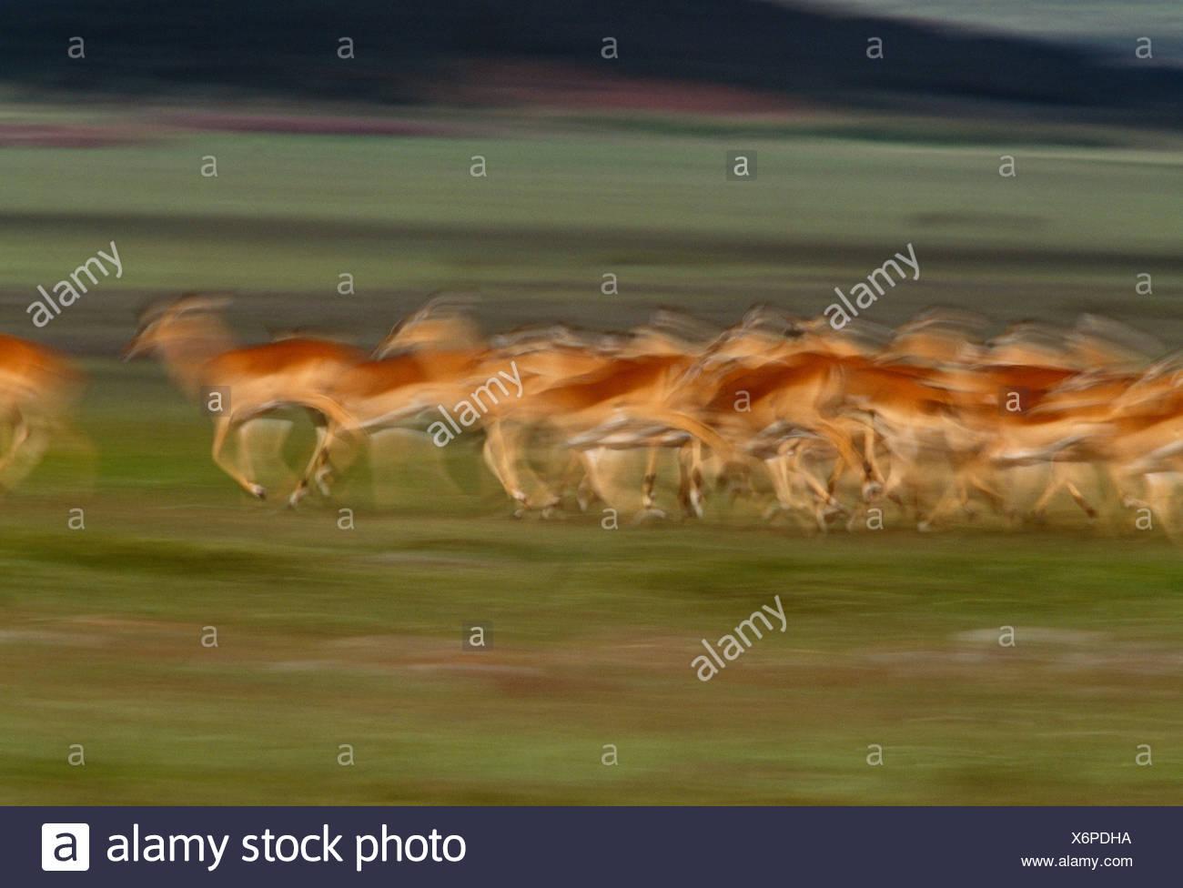 Impala herd, Masai Mara National Reserve, Kenya - Stock Image