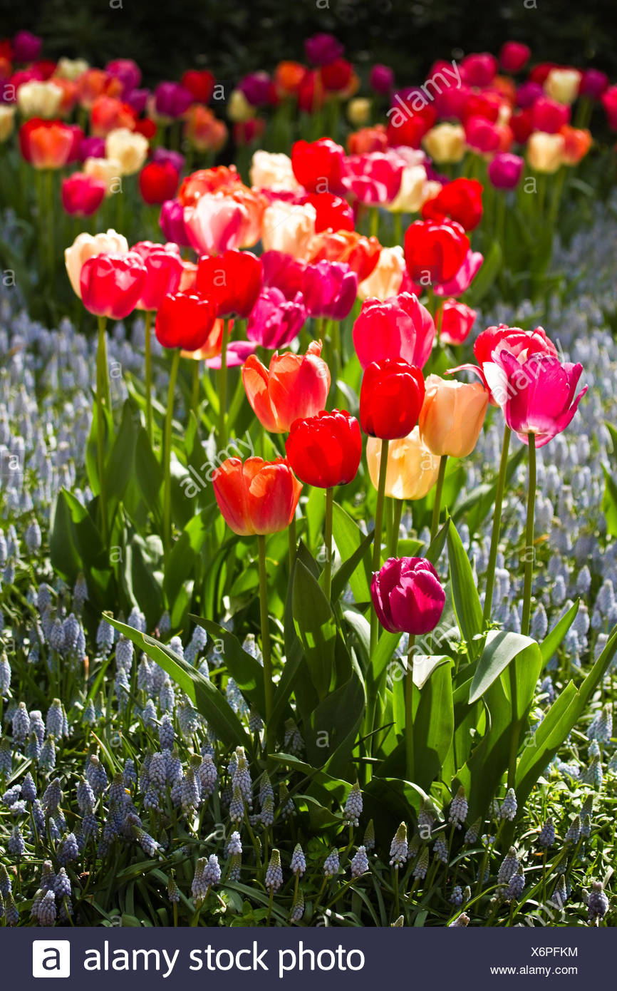 garden, flower, flowers, plant, tulips, spring, tulip, blue, arrangement, - Stock Image