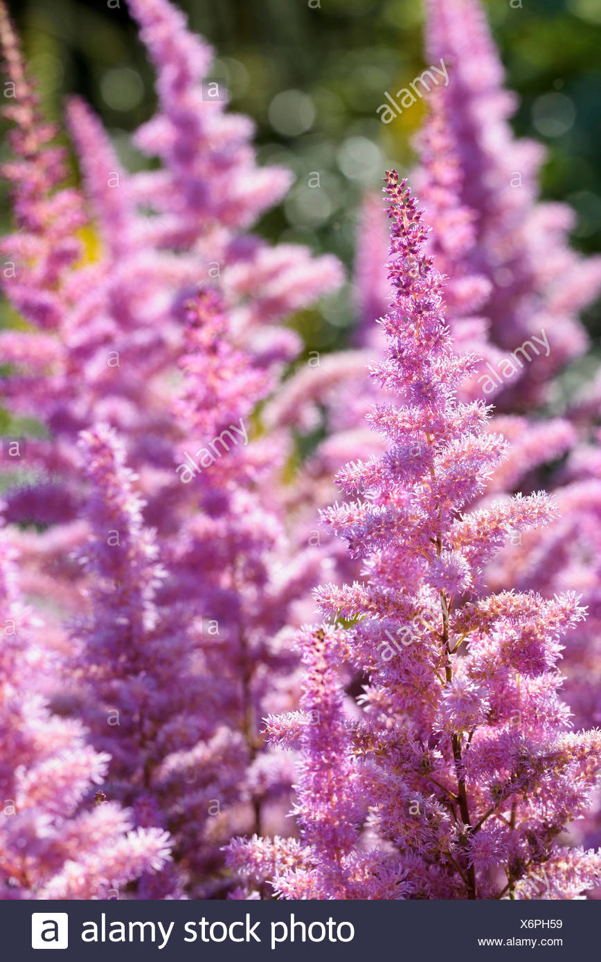 Astilbe, Garden Astilbe, Astilbe arendsii 'Amethyst', Mass of pink coloured flowers growing outdoor. - Stock Image
