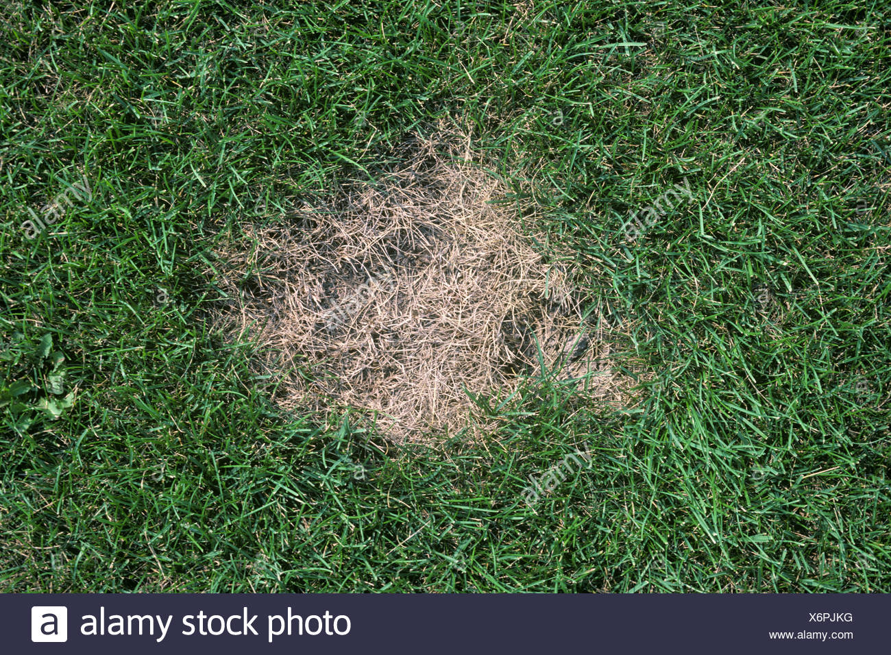 Summer patch Magnaporthe poae in Poa spp lawn gras - Stock Image