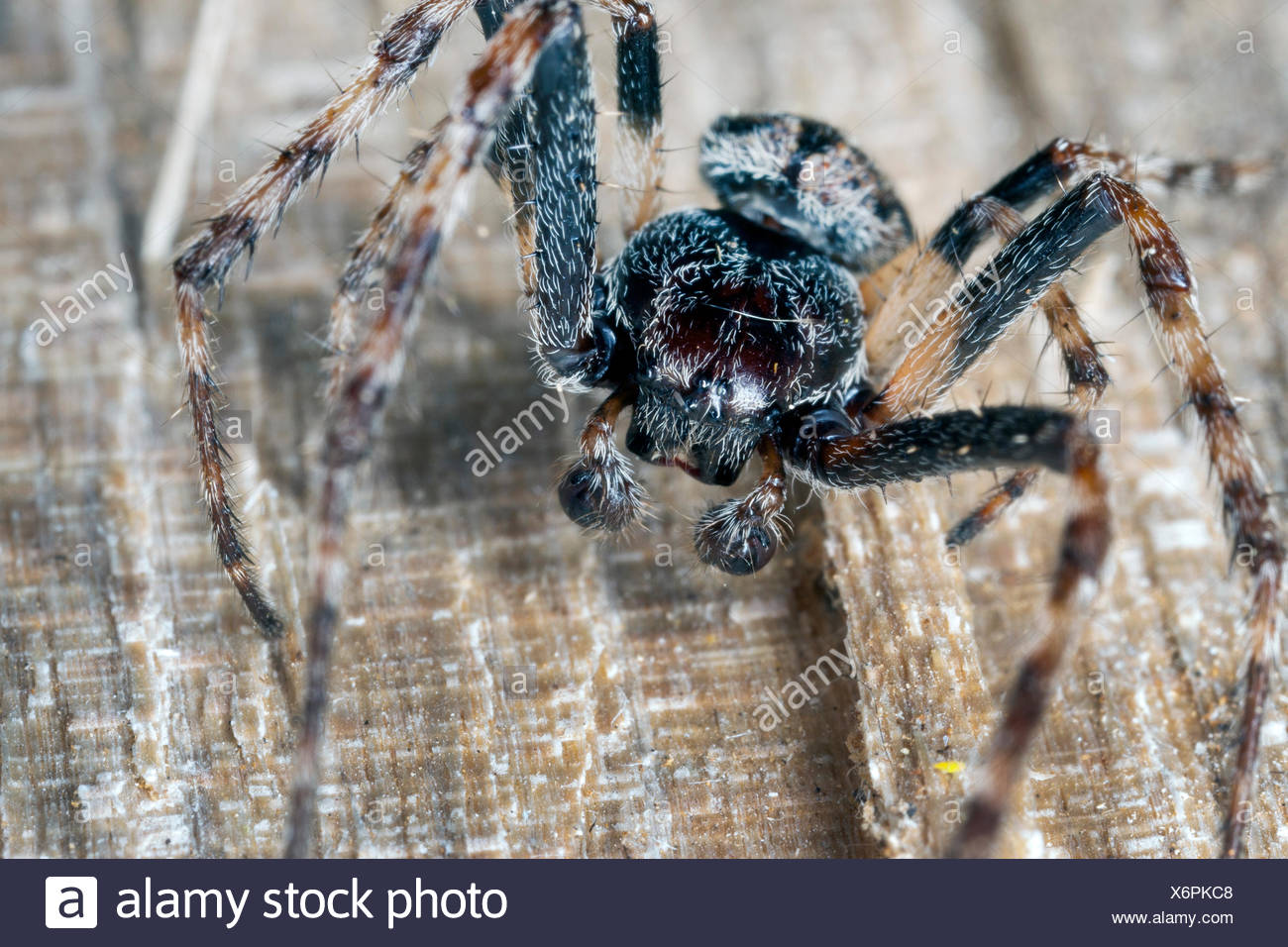 Crevice spider, Walnut Orb-Weaver Spider, walnut orb weaver spider, Walnut Orb Weaver (Araneus umbraticus, Nuctenea umbratica), male, Germany - Stock Image