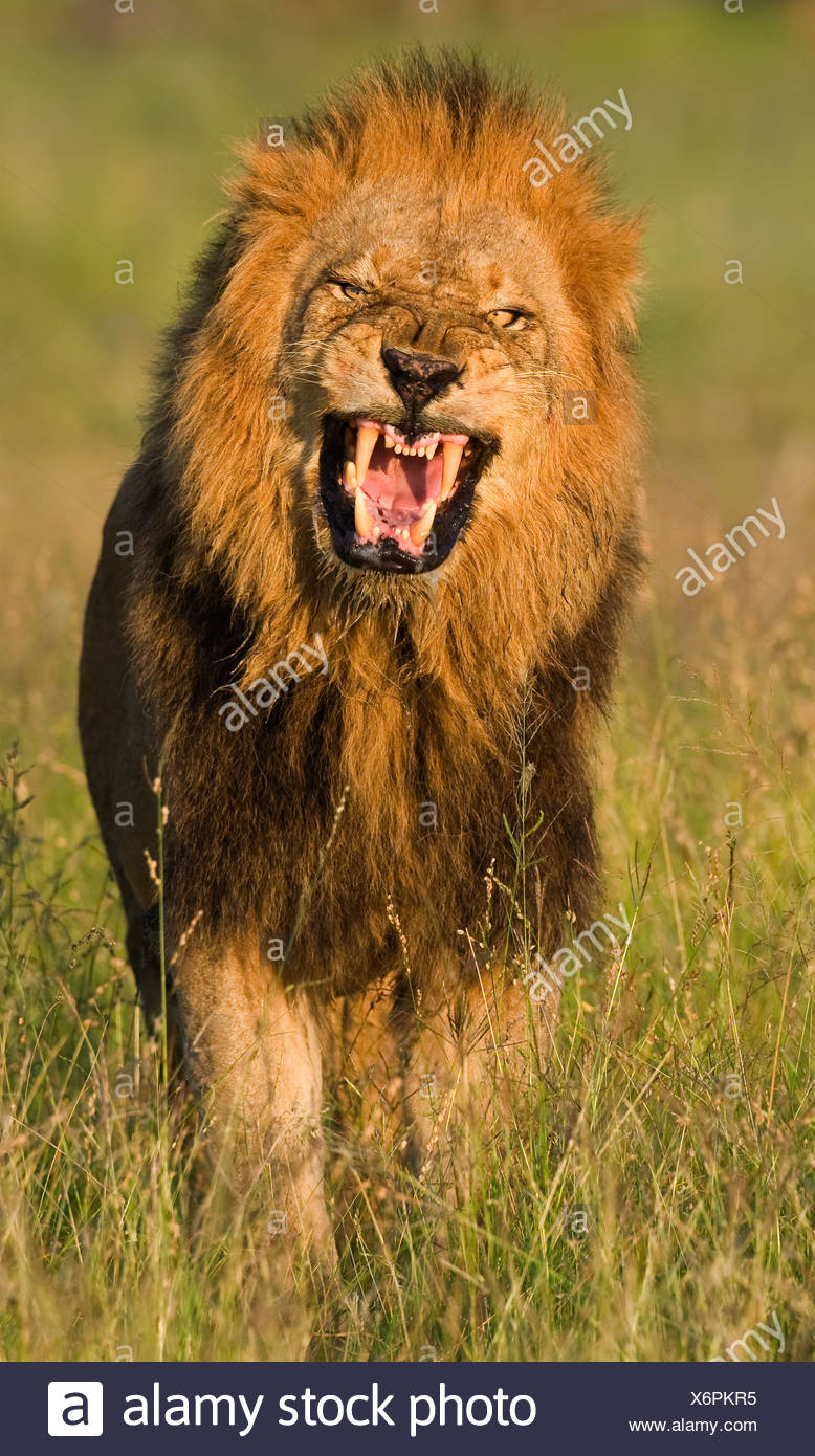 Male lion roaring, Greater Kruger National Park, South Africa - Stock Image