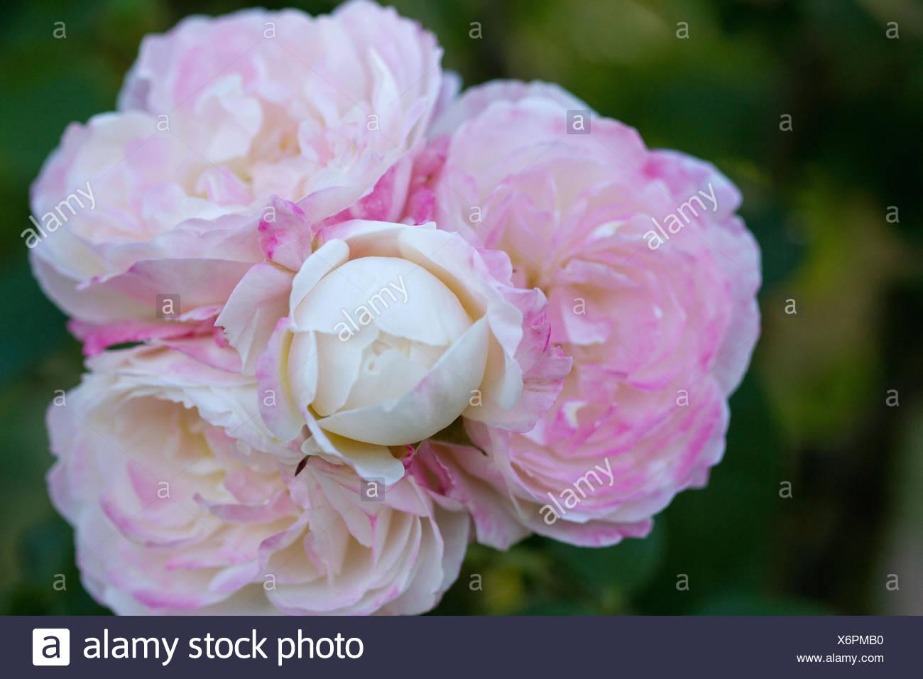Roses of Bagatelle Stock Photo