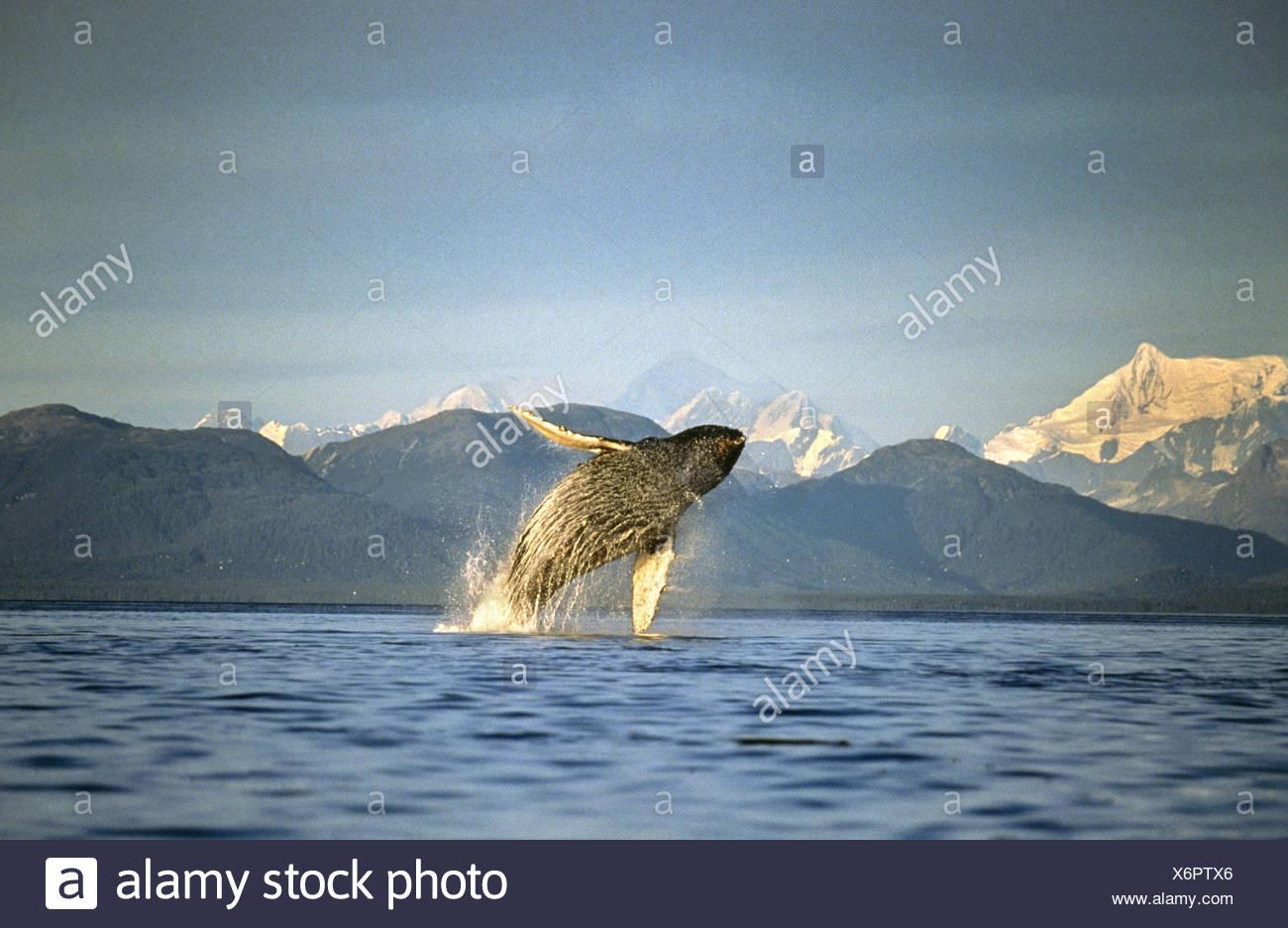 Humpback Whale breaching, Icy Straits, Southeast Alaska - Stock Image