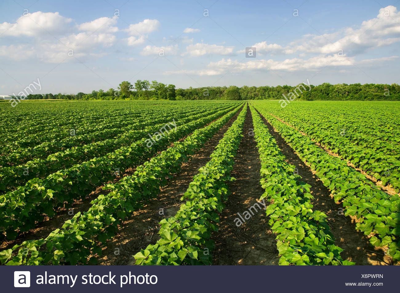 Agriculture - Field of healthy mid growth no-till cotton at the squaring stage in early morning light / Western Tennessee, USA. - Stock Image
