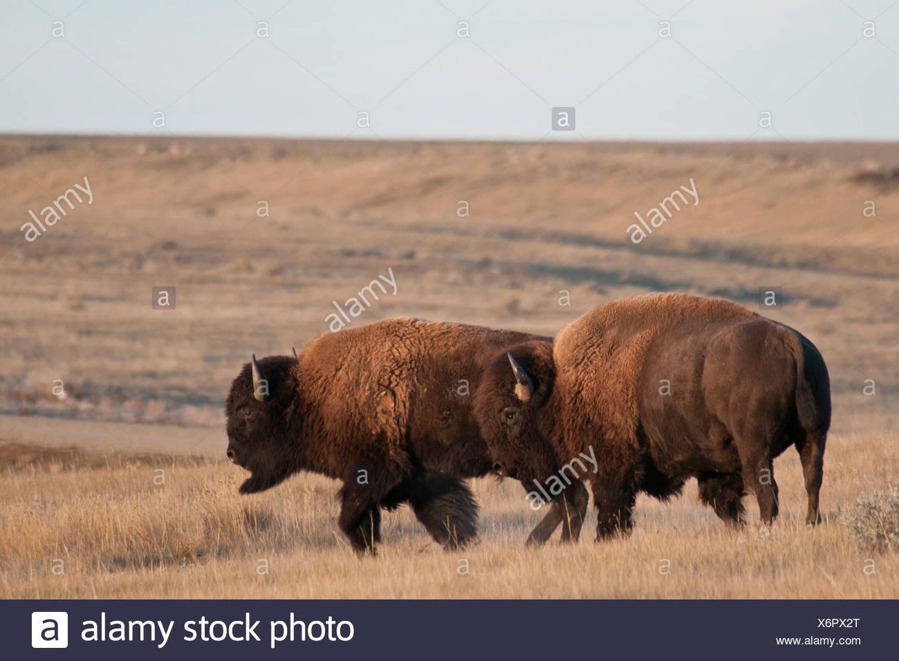 Plains bison (Bison bison bison) grazing in a field, Grasslands National Park, Saskatchewan, Canada Stock Photo