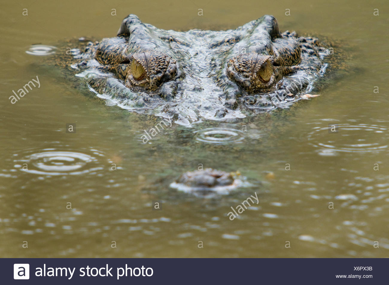 Saltwater crocodile (Crocodylus porosus) partially submerged with ripples on water from raindrops. Sarawak, Borneo, Malaysia. - Stock Image