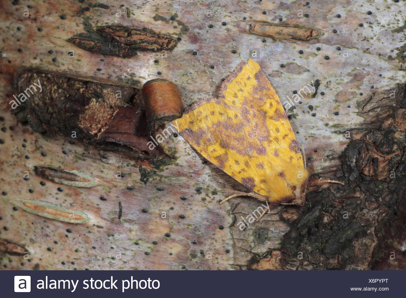 Pink-barred pink barred sallow Xanthia togata nature natural wild wildlife environment environmental europe european insect bug - Stock Image
