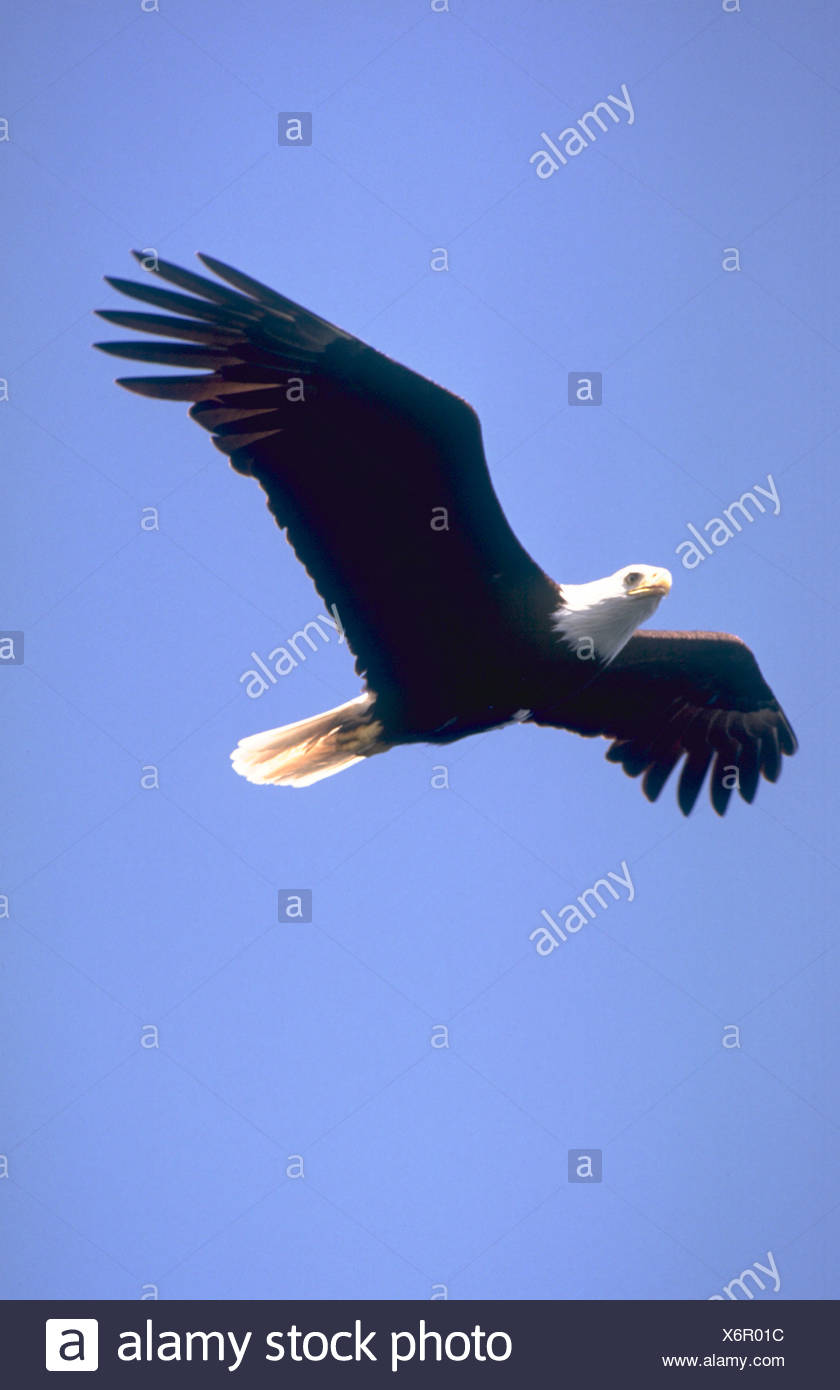 Side view of a bald eagle soaring through the blue sky with its wings totally expanded - Stock Image