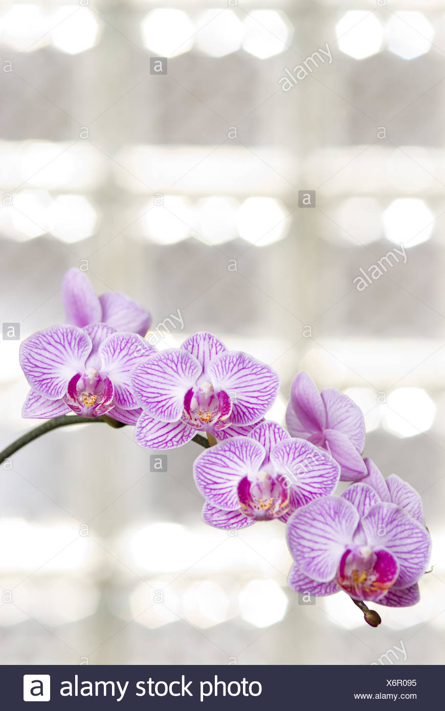 Blossoming orchid flowers with sunny light in glass windows Stock Photo