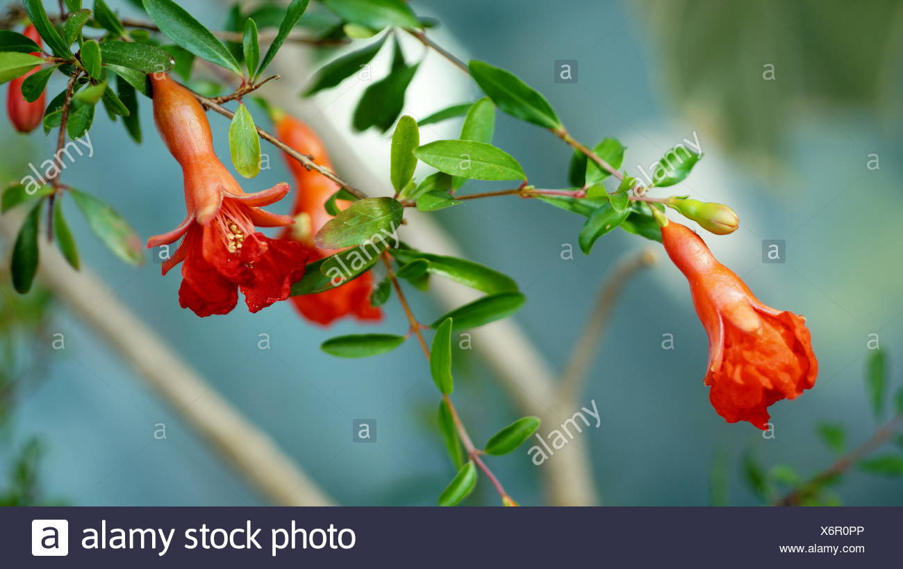 blooming grenades - Stock Image