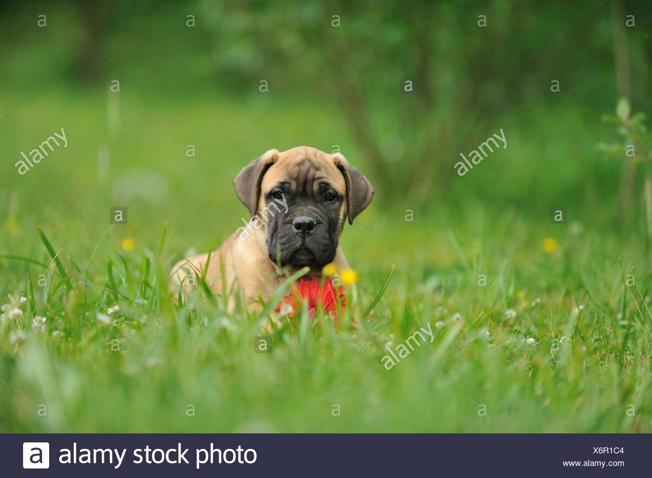 how to train a bullmastiff puppy