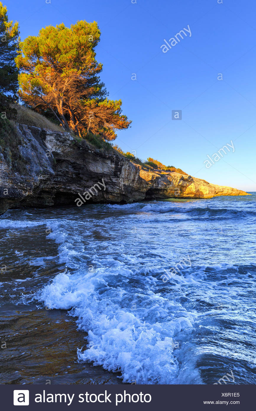 Sunlight at sunset illuminates an Aleppo pine at Colombi Beach, Defensola, Apulia(Puglia), Italy. - Stock Image