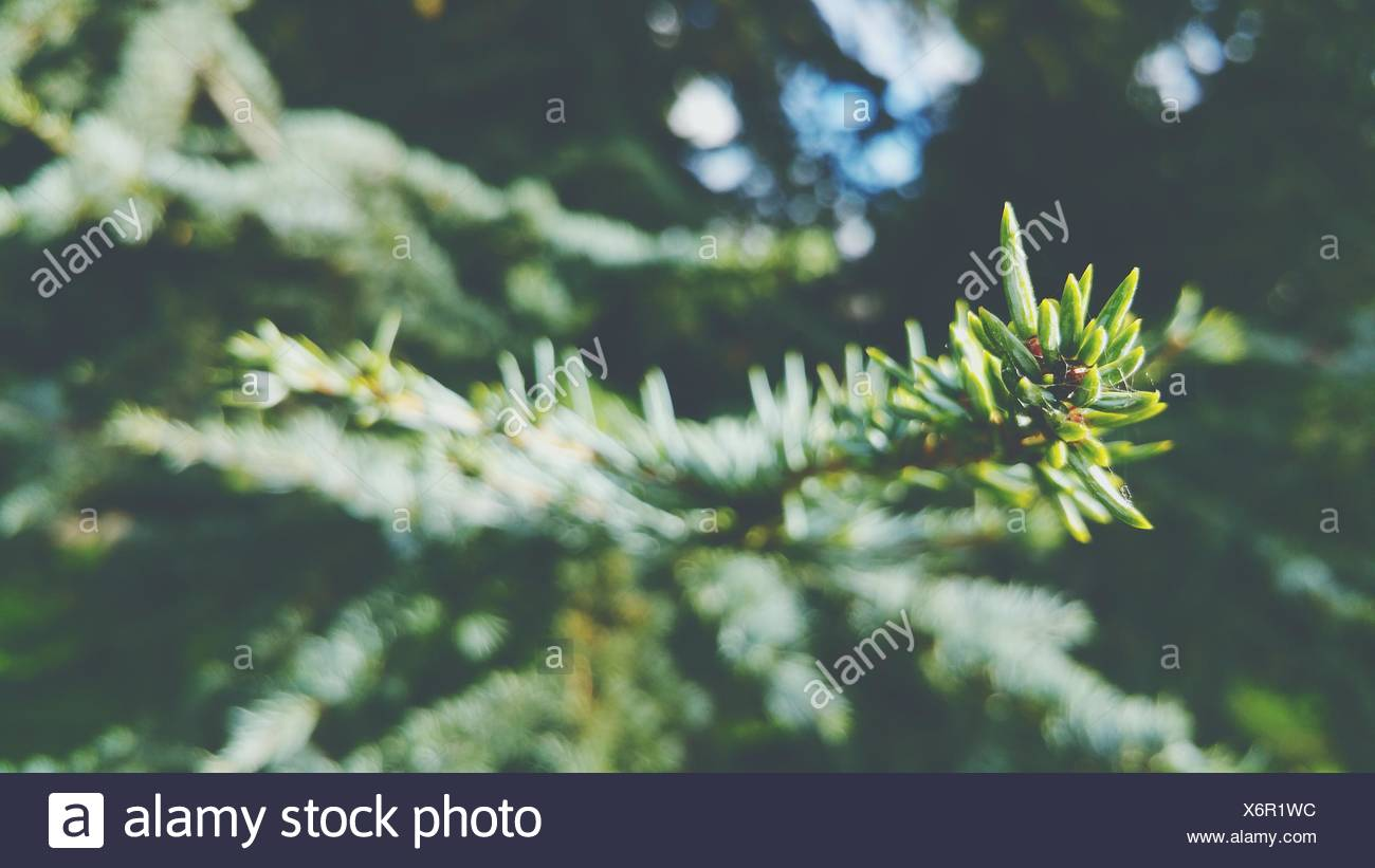 Close-Up Of Pine Tree Branch - Stock Image